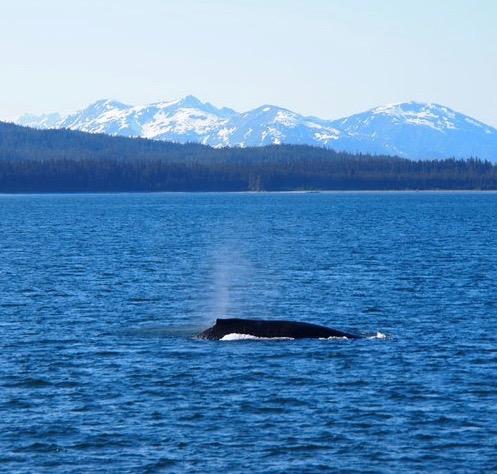 Humpback Whale, Gulf of Alaska