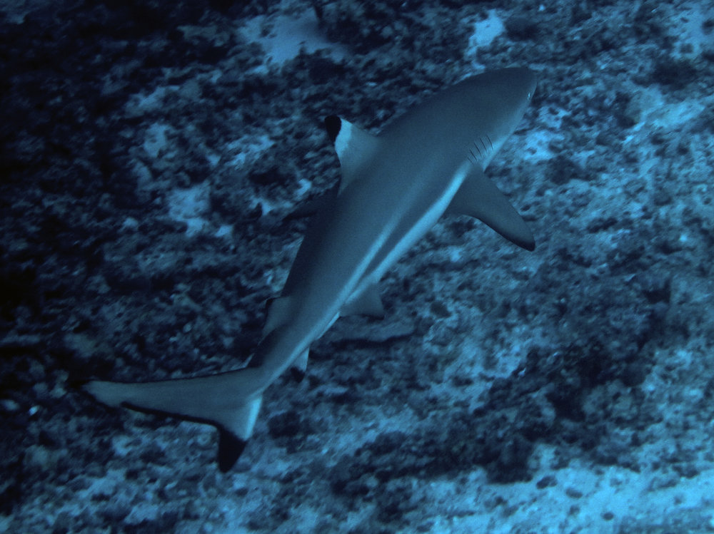 Black-tip Reef Shark, Indonesia