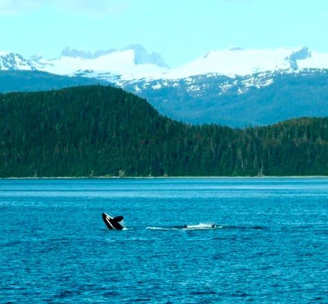 Orca, Gulf of Alaska