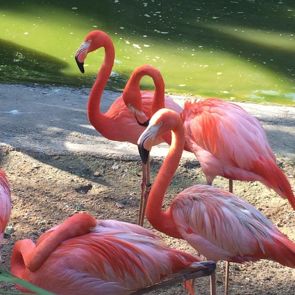 Flamingoes, Trinidad