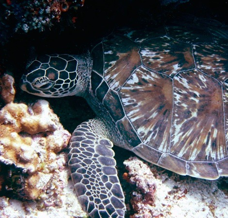 Green Sea Turtle, Indonesia