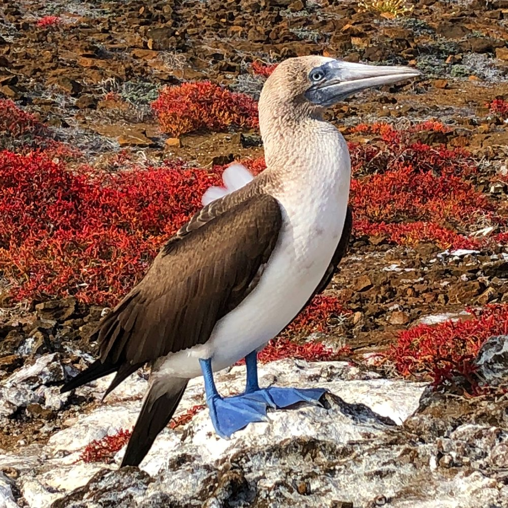Blue-footed Booby, Galápagos Islands