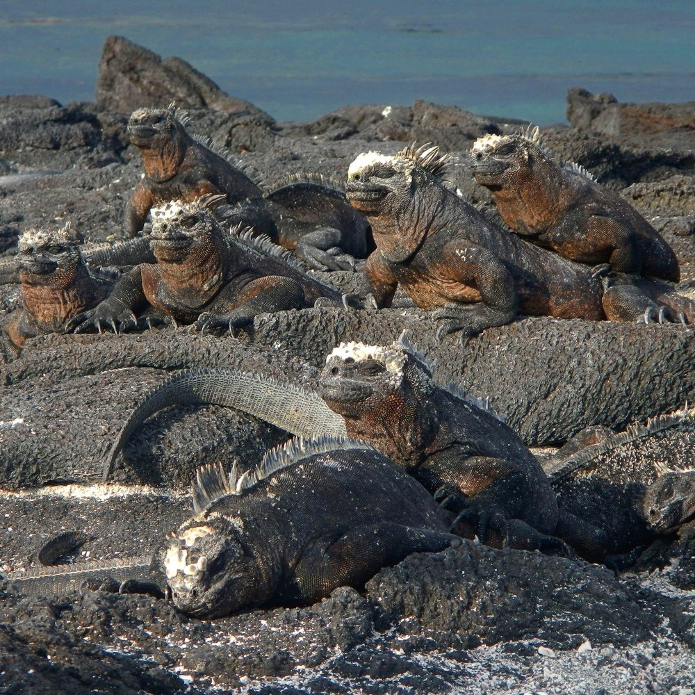 Marine Iguanas, Galápagos Islands