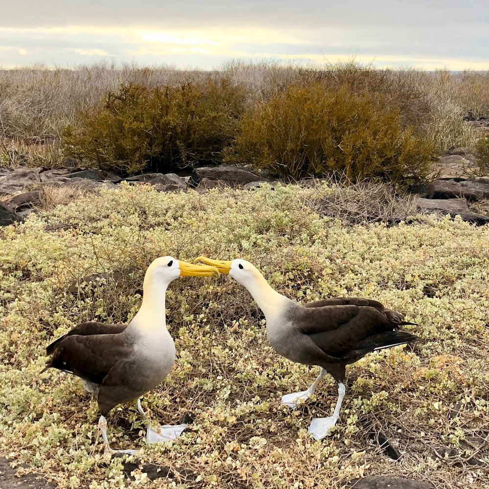 Waved Albatross, Galápagos Islands