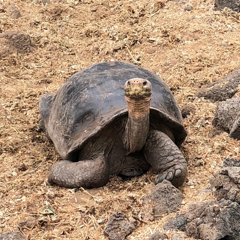 Galápagos Tortoise, Galápagos Islands