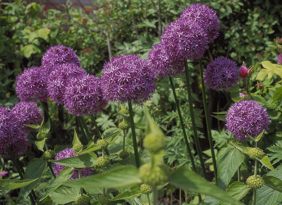 Allium Giganteum.jpg