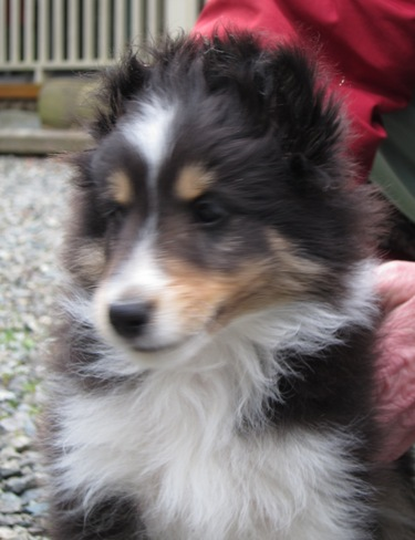 "TRI MALE ""SKYE"" HAS GONE HOME WITH LIZ AND FAMILY IN ISSAQUAH"