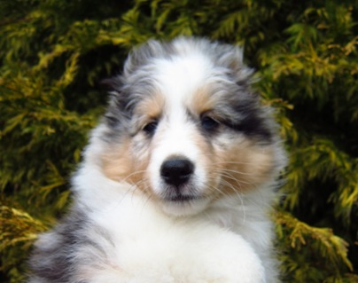 "BLUE MERLE BOY ""CHANCELLOR"" IS GOING TO BE ALLISON'S BEST FRIEND IN AUBURN"