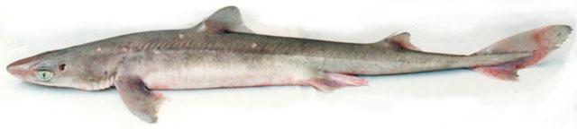 foto uit:  http://www.abc-sportvissen.be/paginas-droomvissen/Doornhaai%20soort.htm