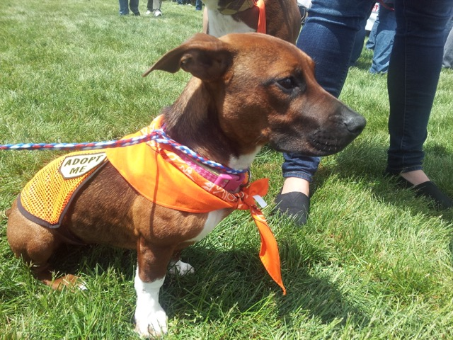"Photo: Susannah's dog Ella May, a pit bull mix (possibly basset hound, dachshund, or beagle, says Susannah), wearing an orange bandana with a vest that says, ""Adopt Me."""