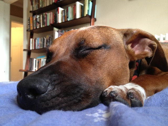 Photo: Close up of Ella May sleeping on a purple blanket, one paw next to her face, books on bookshelf in the background.