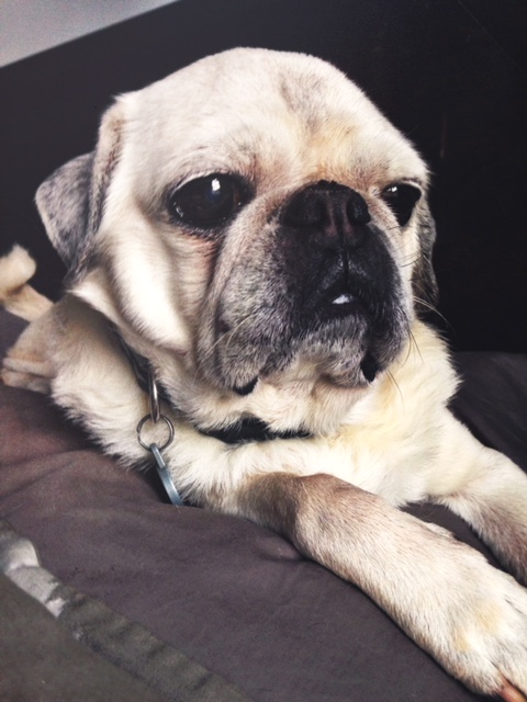 Ruben, the pug who inspired Allison to start rescuing.