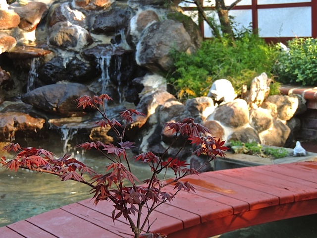 japanese maple 1.jpg