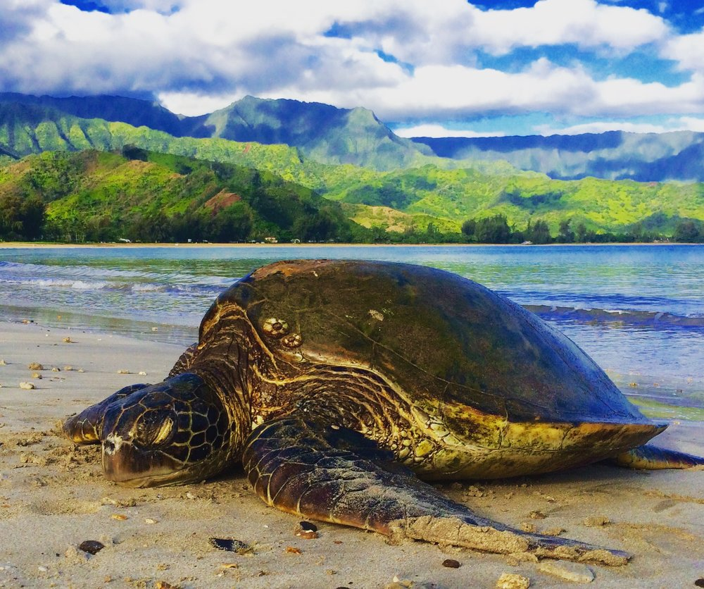 Honu (sea turtle) at Hanalei Bay