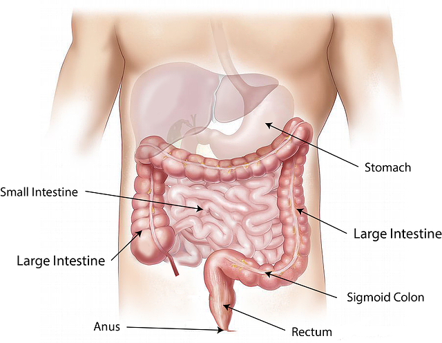 abdomen-1698565_640.png