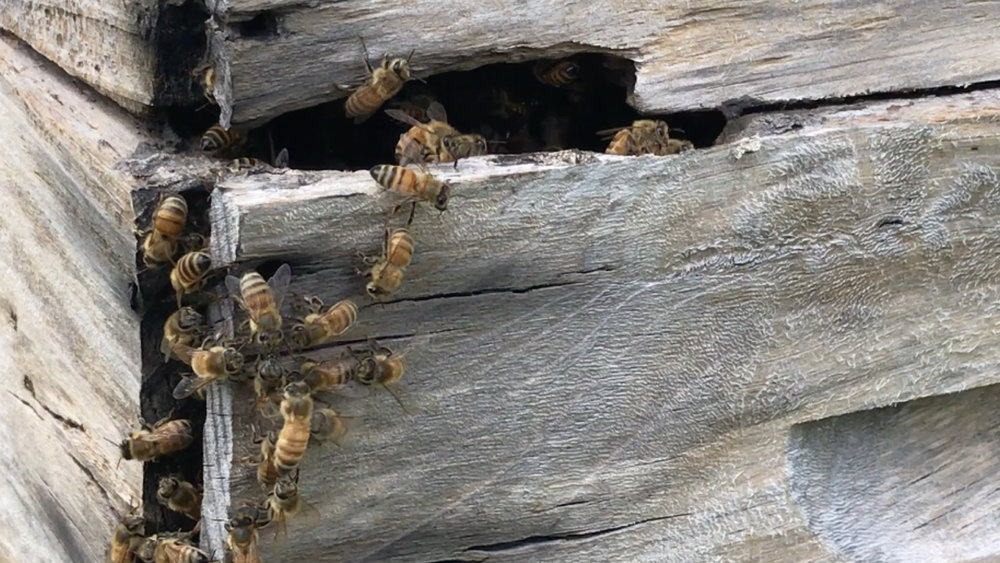"""""""What the bees display is love and unity,"""" says Japhet. He says his community can learn lessons about how the bees work together. With logging and mining continuing to cause land disputes on Rennell, Japhet says the message of resilience and community is urgently needed."""