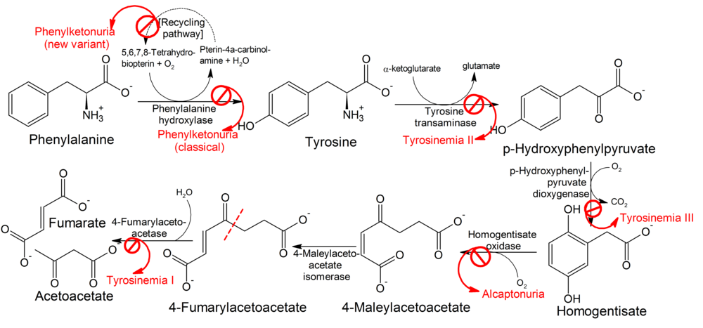 Pathophysiology of phenylketonuria, which is due to the absence of functional phenylalanine hydroxylase (classical subtype) or functional enzymes for the recycling of tetrahydrobiopterin (new variant subtype) utilized in the first step of the metabolic pathway.