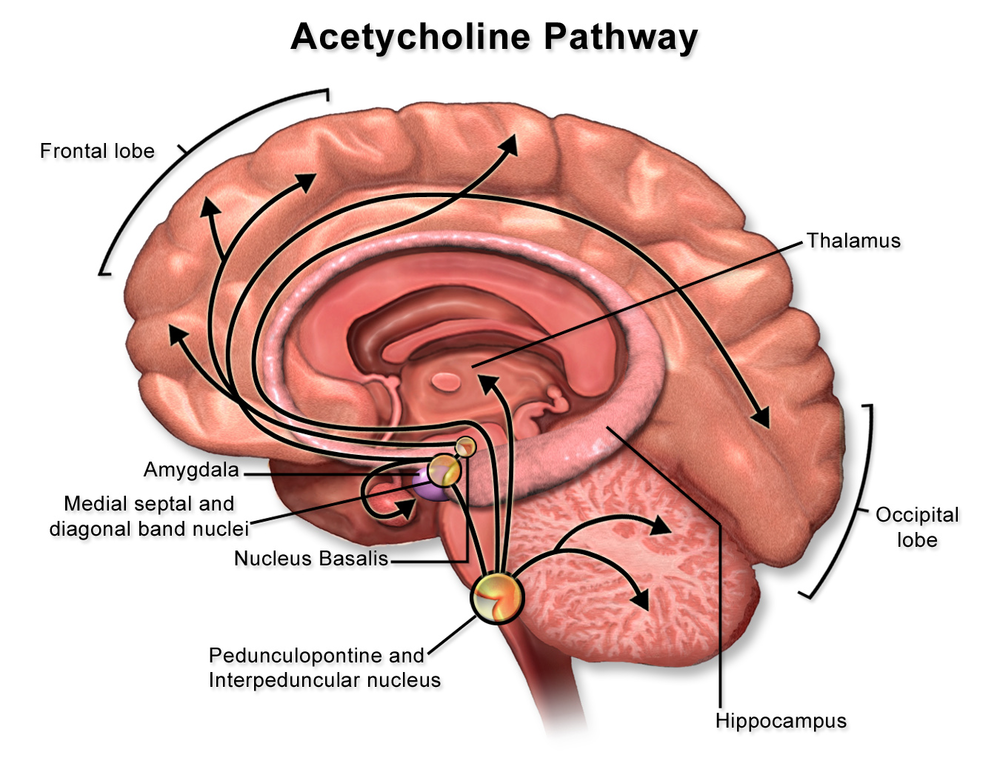 This is the a cetylcholine pathway of your brain.