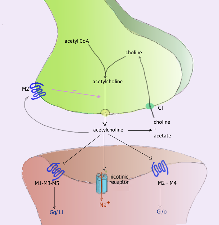 Acetylcholine processing in a synapse. After release acetylcholine is broken down by the enzyme acetylcholinesterase.