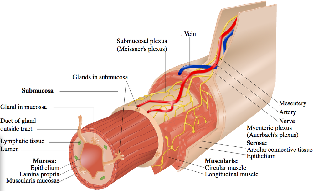The Gastrointestinal  Wall