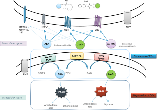 ECs are synthesized on demand, act locally, and are rapidly degraded by specific enzymes.  R