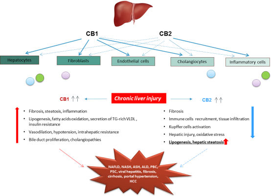 Deletion of CB1 improved hepatic fibrosis and steatosis induced by carbon tetrachloride or high-fat diet, whereas the lack of CB2 increased collagen deposition, liver fat, and enhanced inflammatory scores.  R