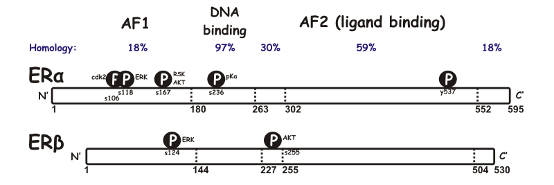 The domain structures of ERα and ERβ, including some of the known phosphorylation sites involved in ligand-independent regulation.