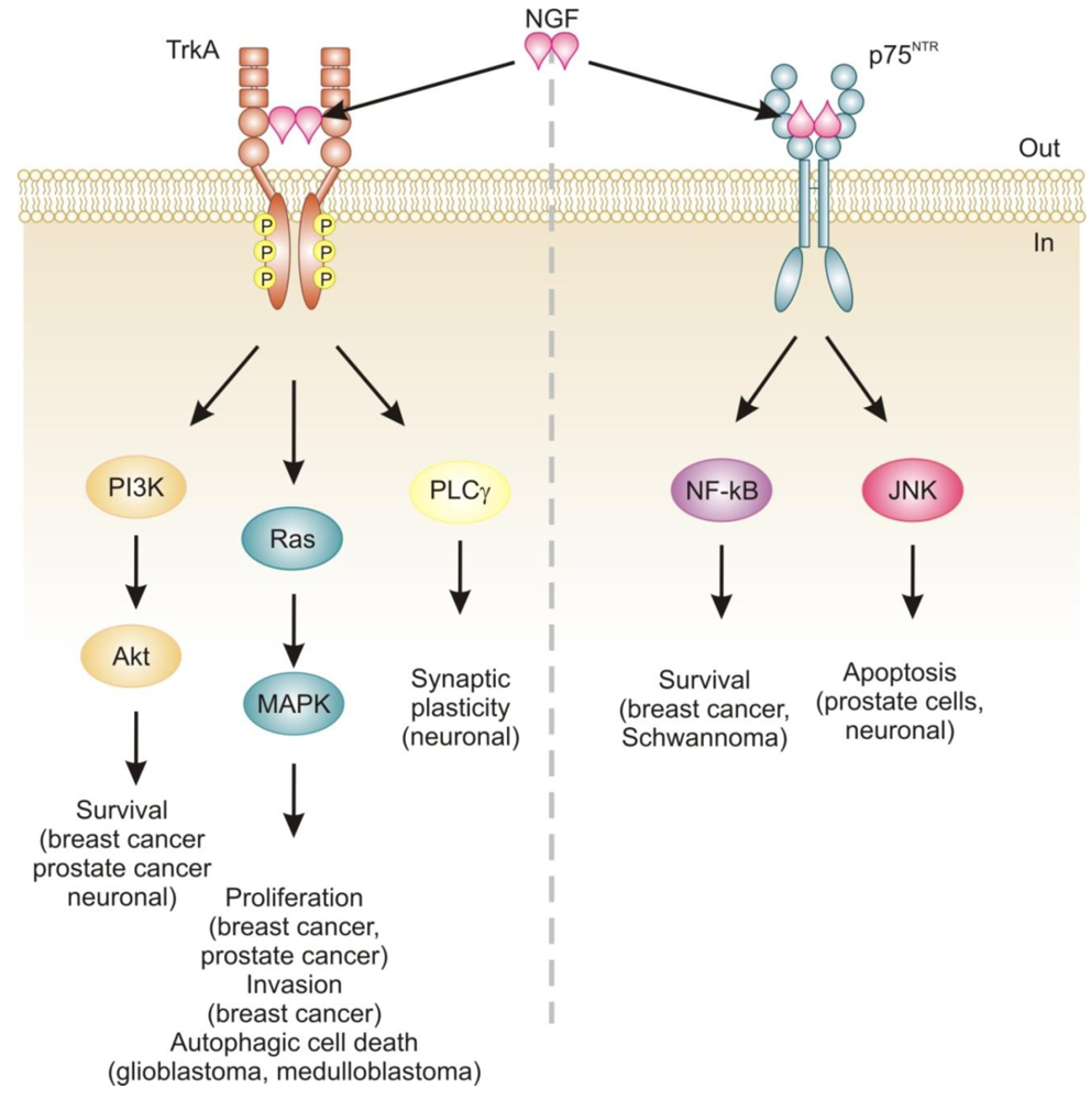 Signaling pathways activated by nerve growth factor (NGF). NGF binding to TrkA receptor mediates proliferation, differentiation and survival via activation of PI3K/Akt, Ras/MAPK and PLCγ pathways.