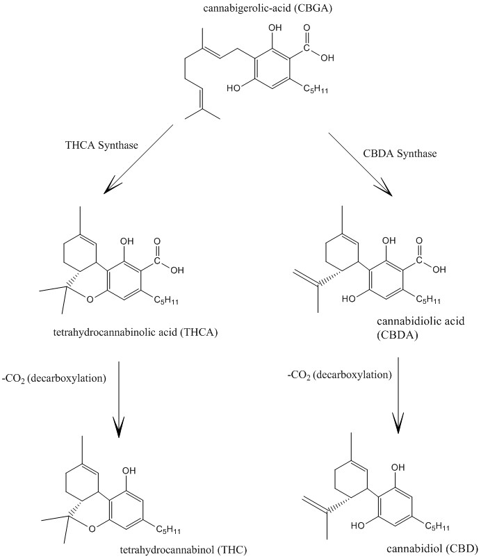 Cannabidiol_and_THC_Biosynthesis.jpg