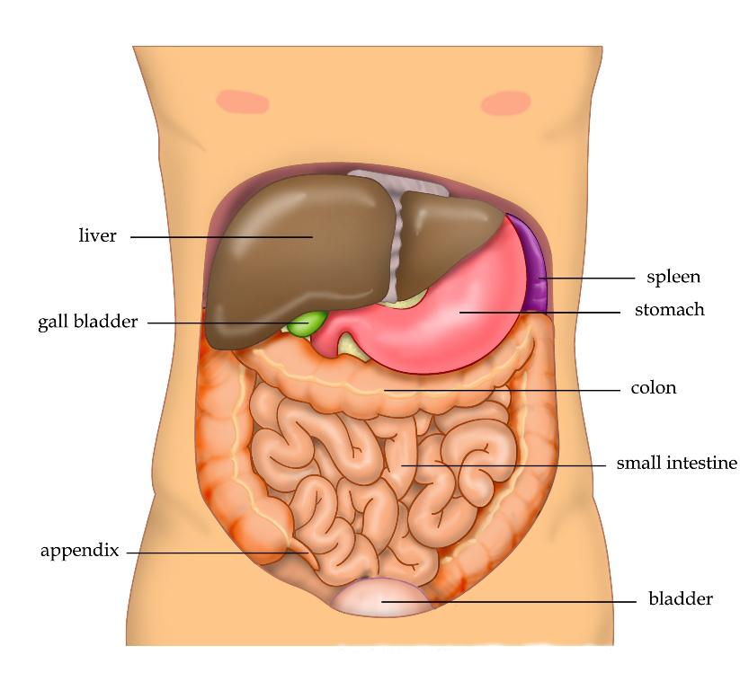 Anatomy_Abdomen_Tiesworks.jpg