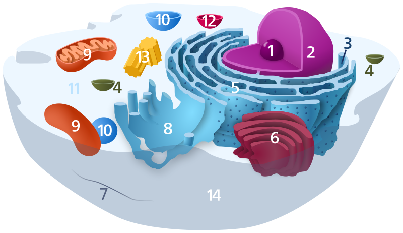 #9 in this diagram are mitochondria
