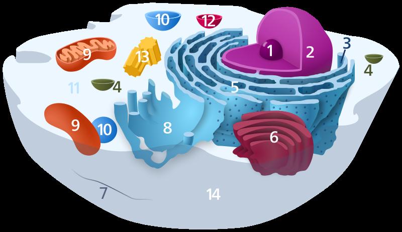 #9 in this diagram are mitochondria