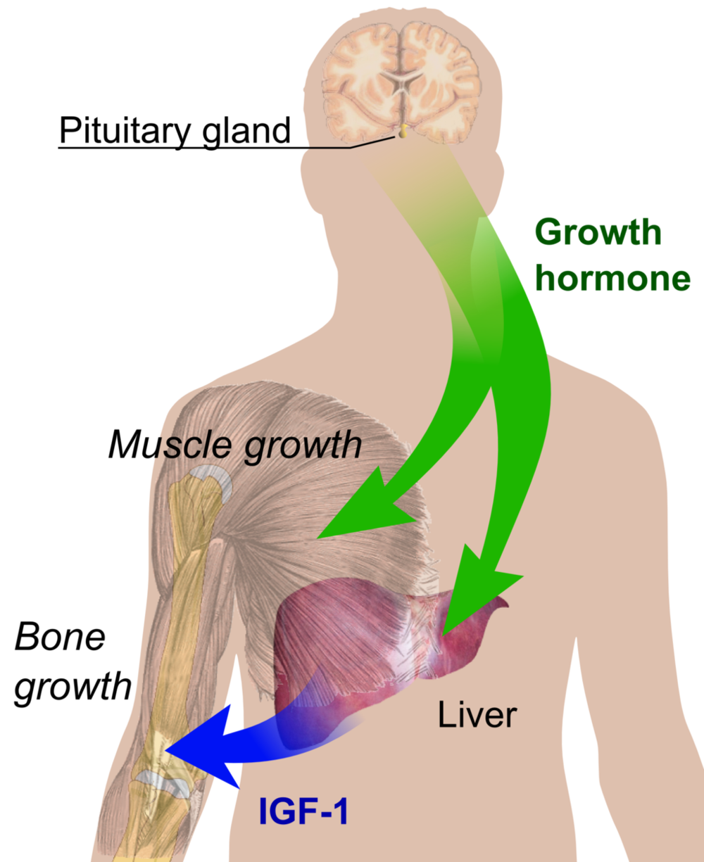 1024px-Endocrine_growth_regulation.png