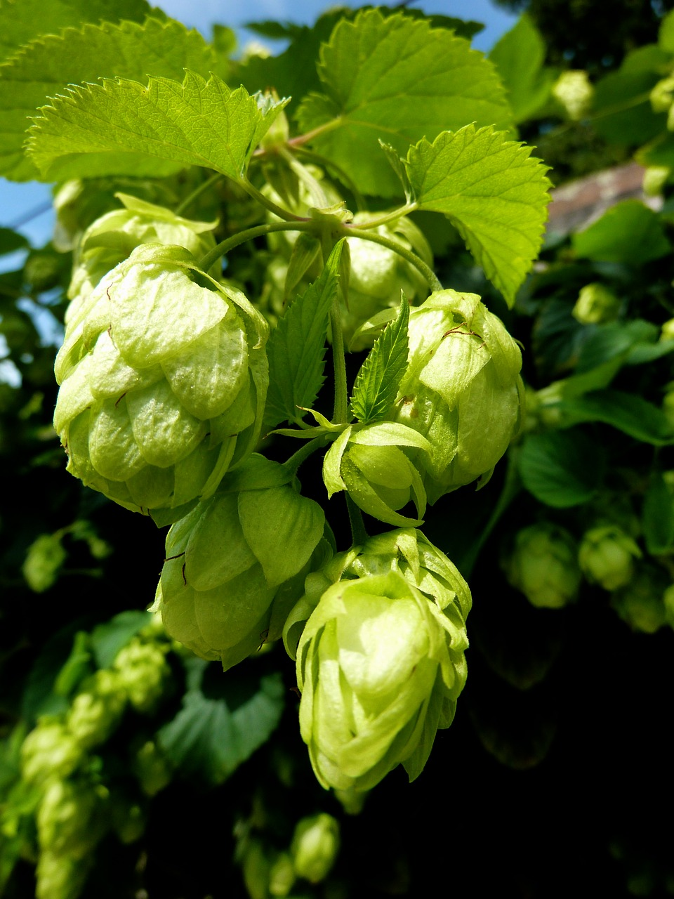 hops bud flowers