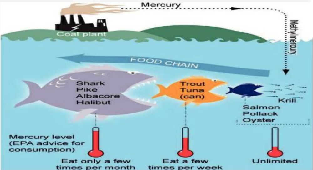 Inorganic vs organic mercury and what to do about it for What fish is high in mercury