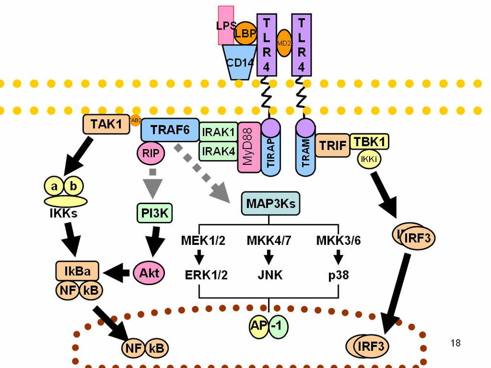 lps myd88 tlr4 mechanism of action