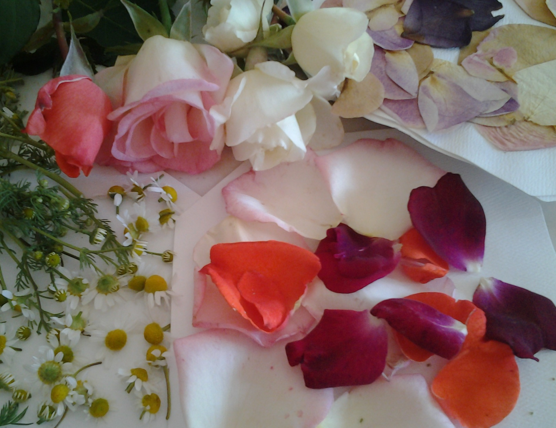 rose & chamomile petals getting ready for drying out. Last years dried rose petals top right