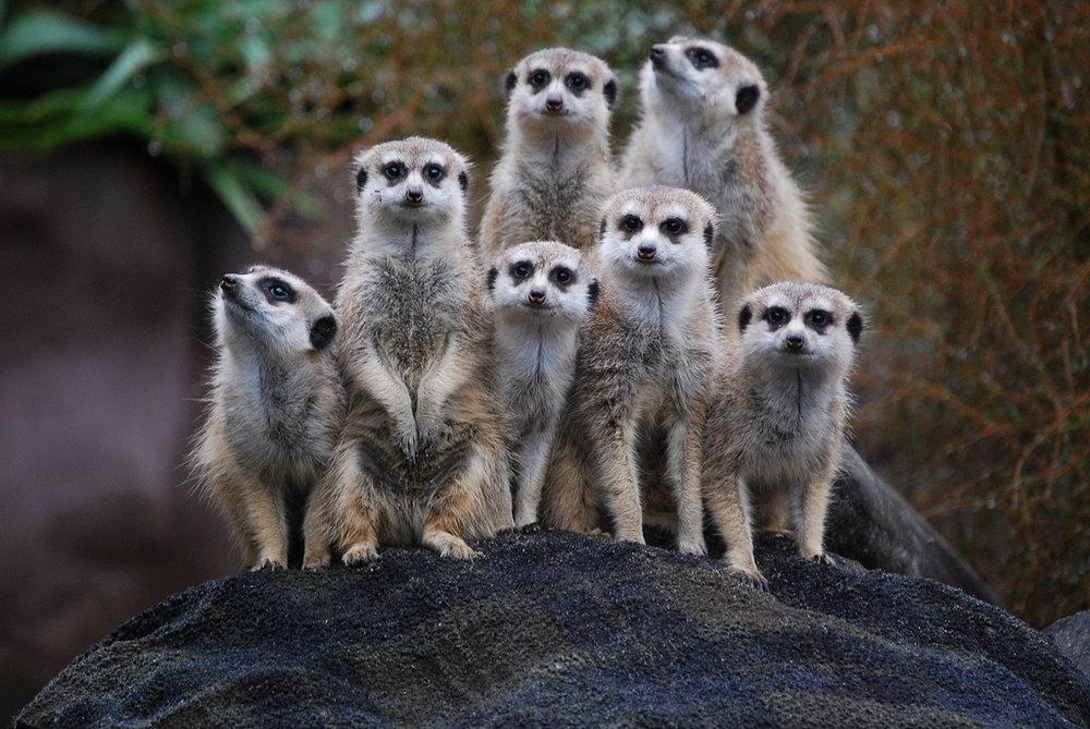 Suricata_suricatta_-Auckland_Zoo_-group-8a.jpg