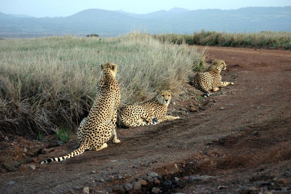 Acinonyx_jubatus-Lewa_game_park_(Kenya).jpg
