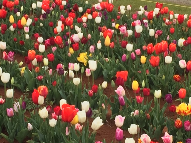 Tulips_at_The_Tesselaar_Tulip_Festival_Victoria.JPG