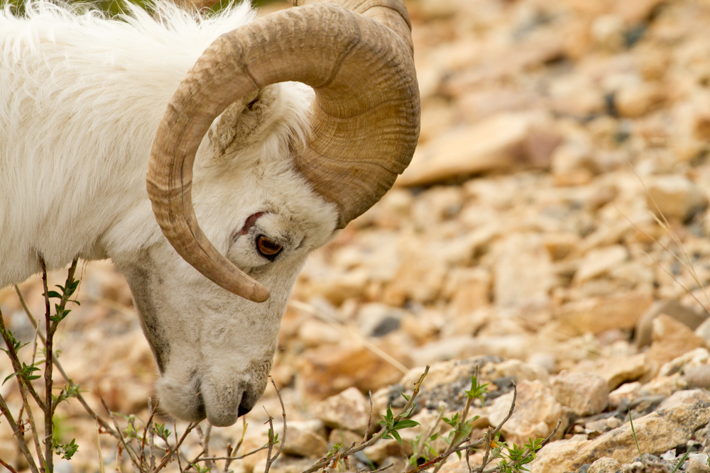 Dall Sheep IMG_3280.jpg