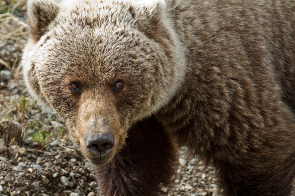 Grizzly Bear 1 IMG_3222.jpg