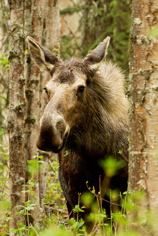 Moose IMG_2842.jpg