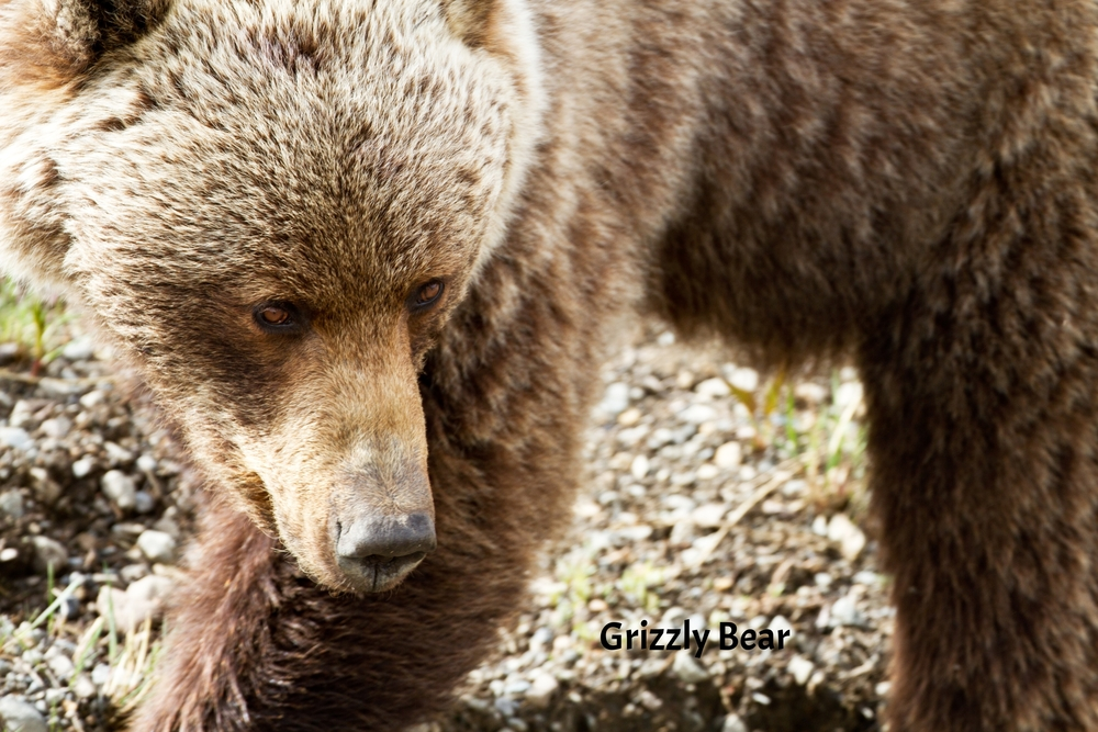 Grizzley IMG_3225.jpg