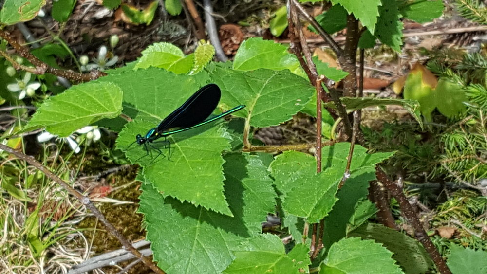 Ebony Jewelwing (in Baxter State Park)