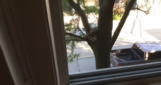 Raccoon in tree.jpeg