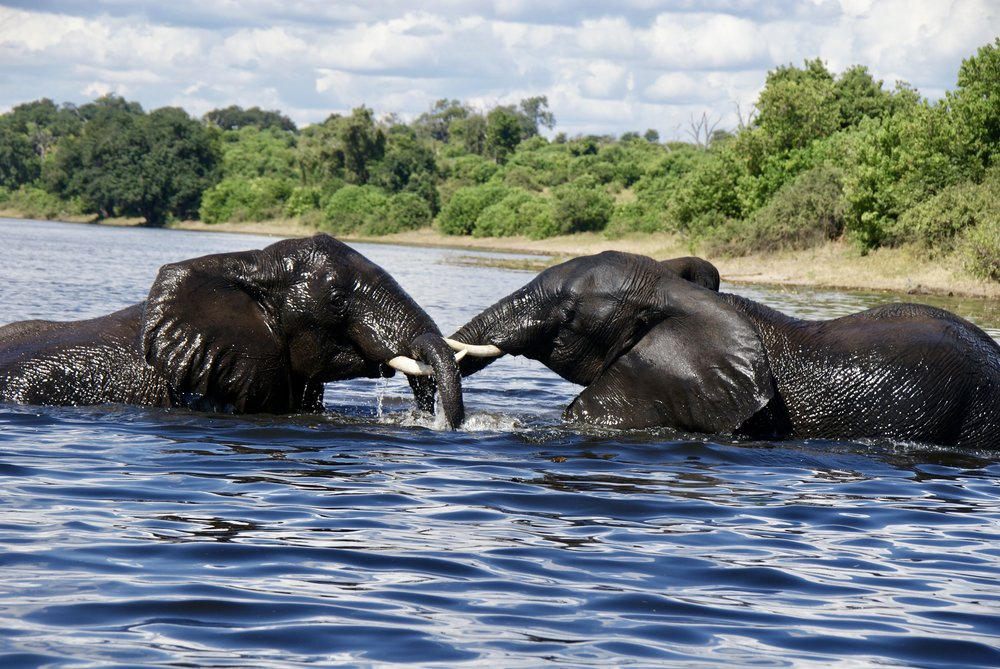 Elephants at Play, Chobe National Park