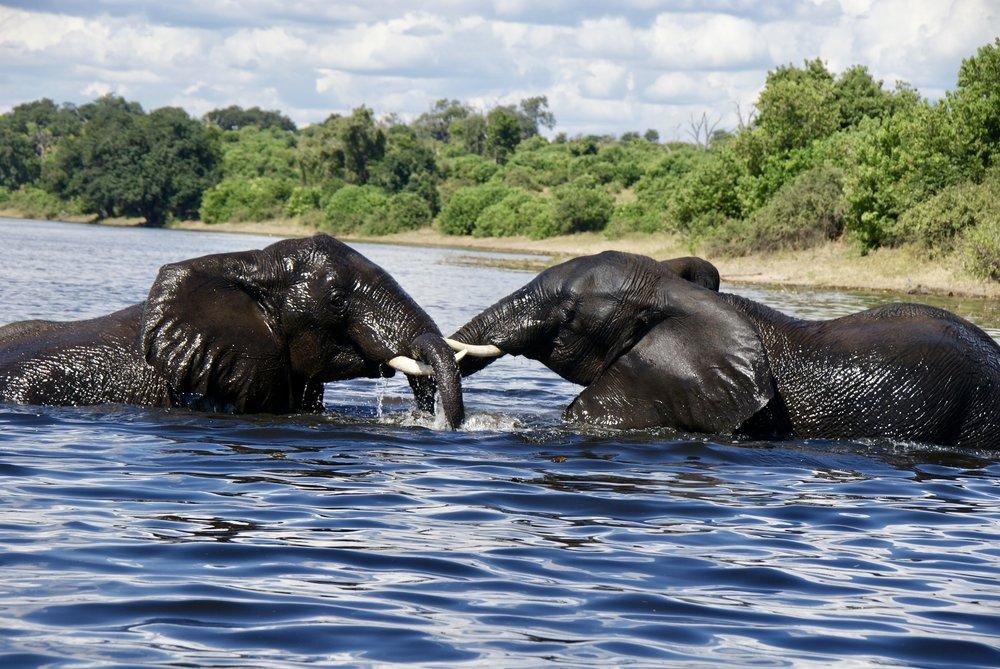 Elephants at Play, Chobe National Park