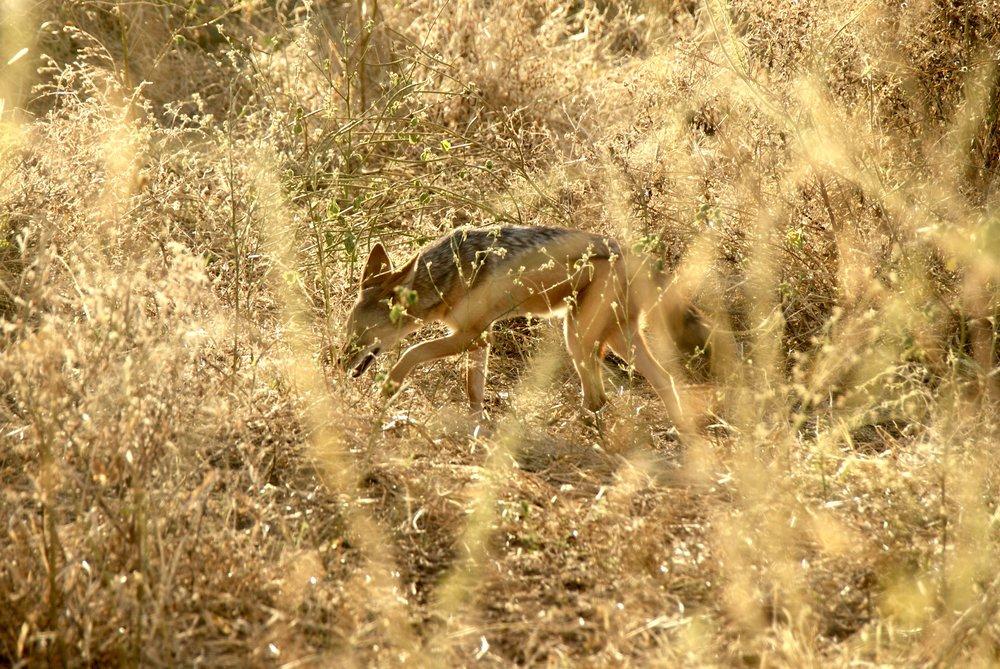 Black-Backed Jackal, Chobe National Park