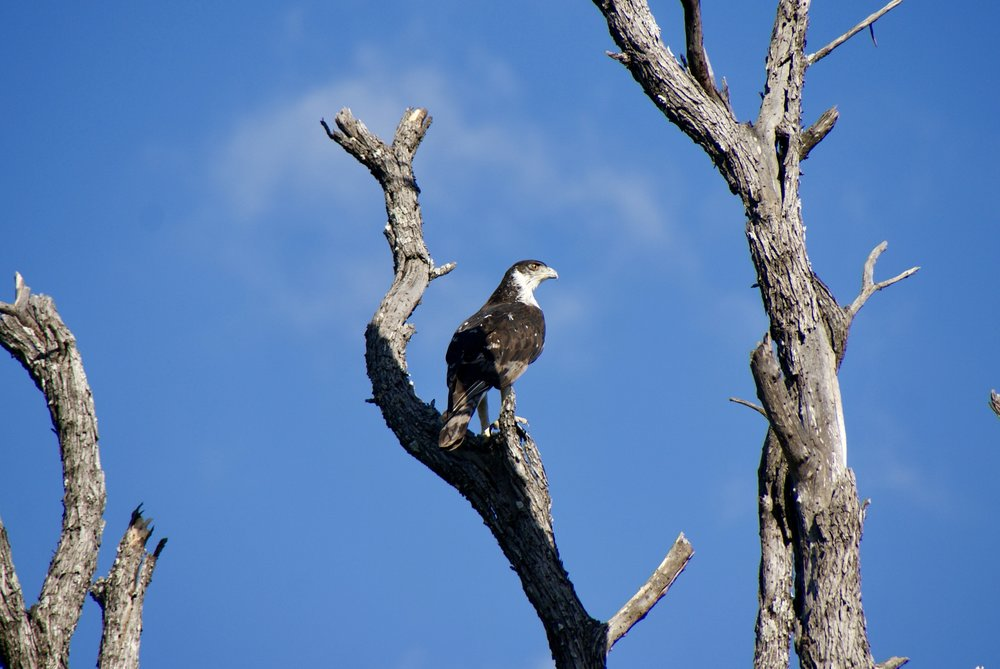 African Hawk Eagle, Linyanti Wildlife Reserve